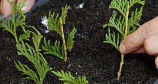 Lebensbaum durch Stecklinge vermehren