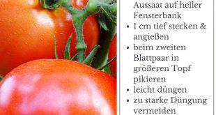 Tomate, Paradeiser & Pomodoro im Portrait: Herkunft, Anbau und Ernte